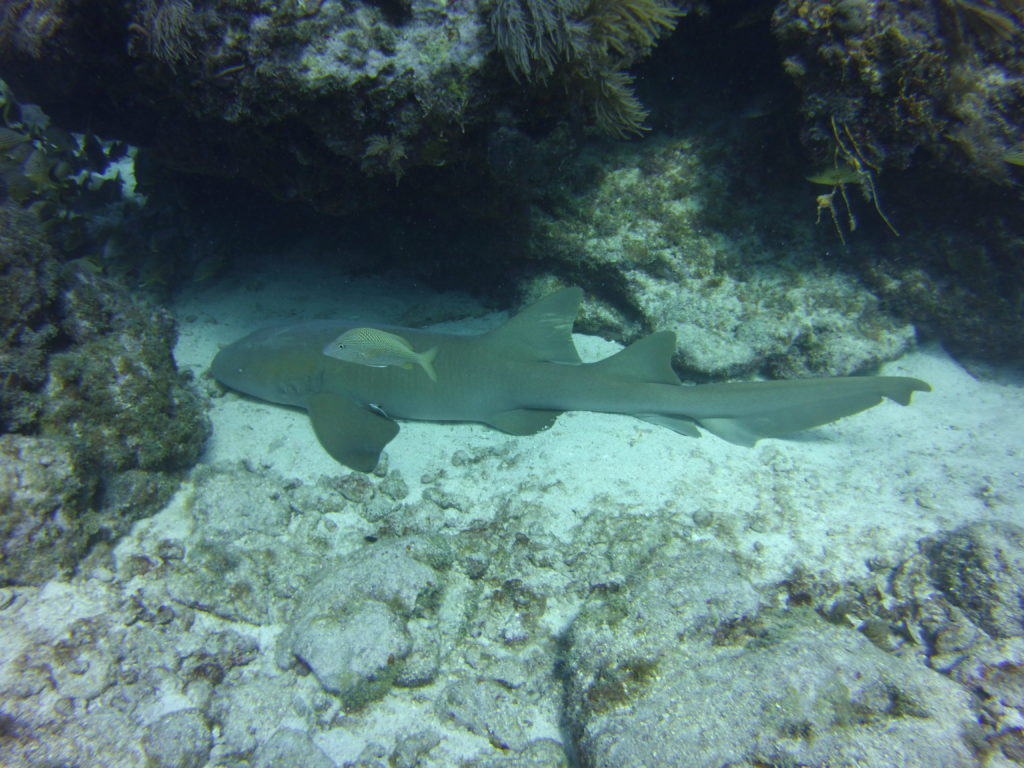Nurse Shark sleeping under rocky overhang