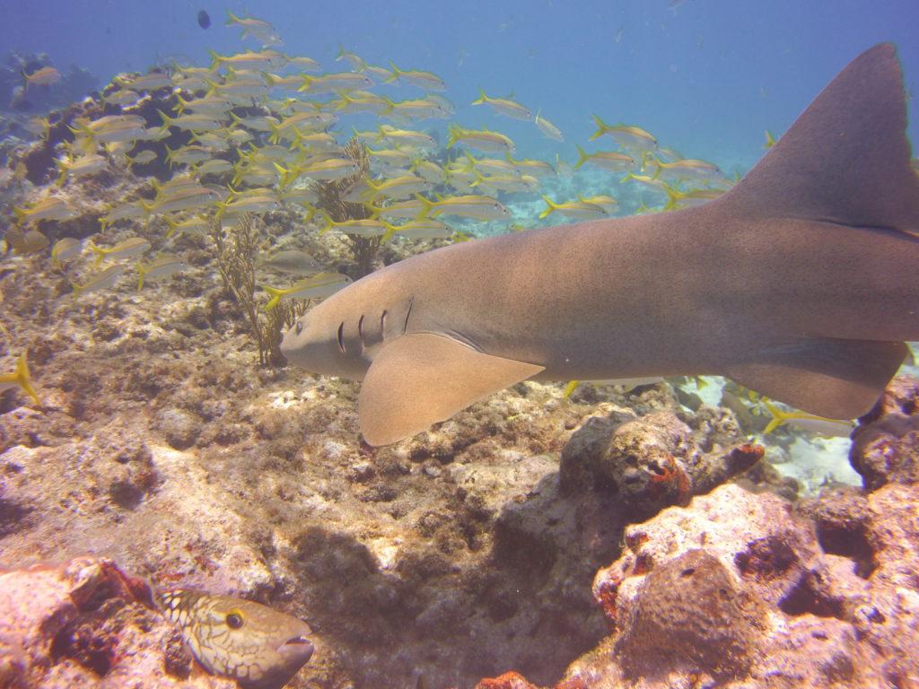 Nurse Shark patrolling