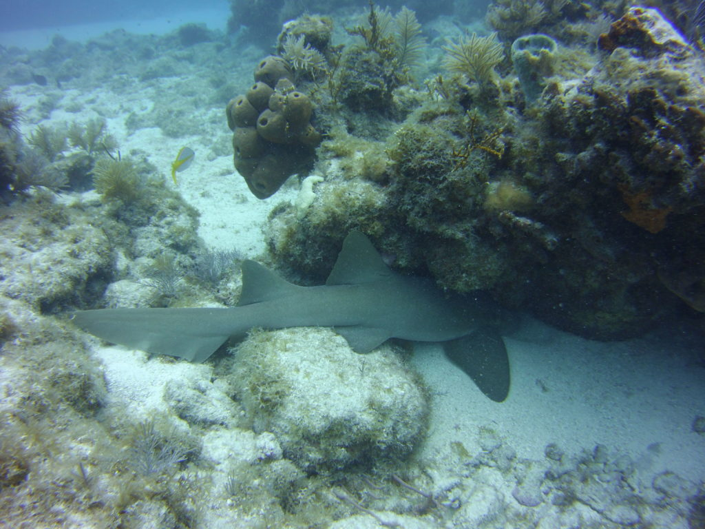 Nurse shark under rock