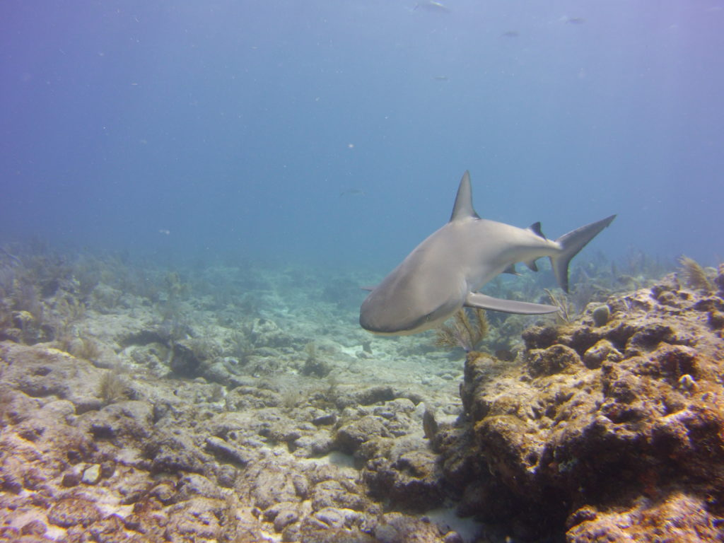 When Key Largo SCUBA diving you will see Bull sharks on Molasses like this one next to the reef